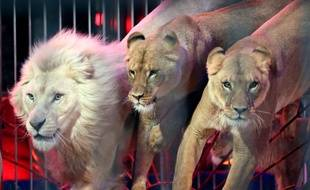 Des lions exécutant un numéro de cirque, illustration