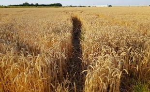 Un champ de blé conventionnel (illustration).