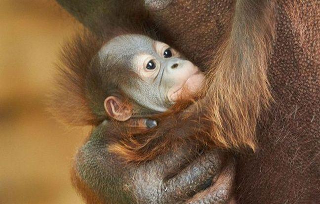 Un des deux orang-outan nés au zoo de La Palmyre (Charente-Maritime) en août 2015