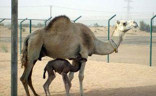 La petite Injaz, présentée comme le premier dromadaire cloné au monde. Photo prise au centre de reproduction des camélidés, à Dubaï.