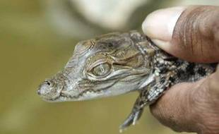 Bébé crocodile âgé de 7 jours, Pakistan, le 15 juillet 2007.