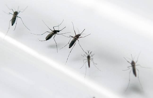 Photos d'archives montrant des moustiques tigres, vecteur du virus Zika, le 2 septembre 2010.