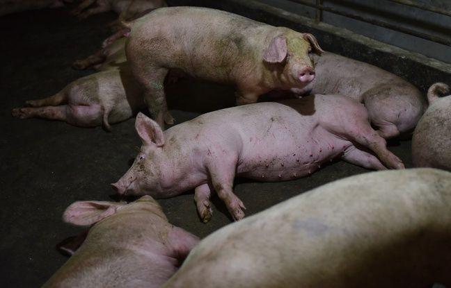 Chine : Faut-il avoir peur de la nouvelle grippe porcine ?