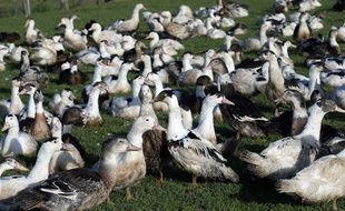 Depuis plusieurs semaines, un épisode de grippe aviaire frappe le Sud Ouest et en particulier les Landes.