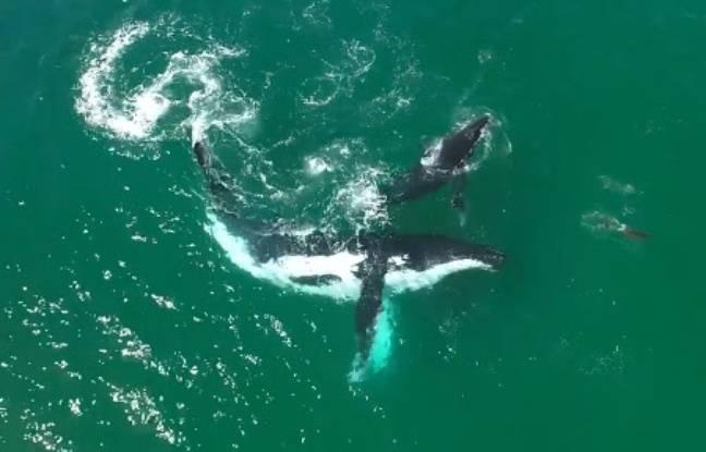 Une baleine et son petit jouent avec un dauphin à quelques centaines de mètres des côtes de Nouvelle-Galles du Sud (Australie), le 3 novembre 2016.