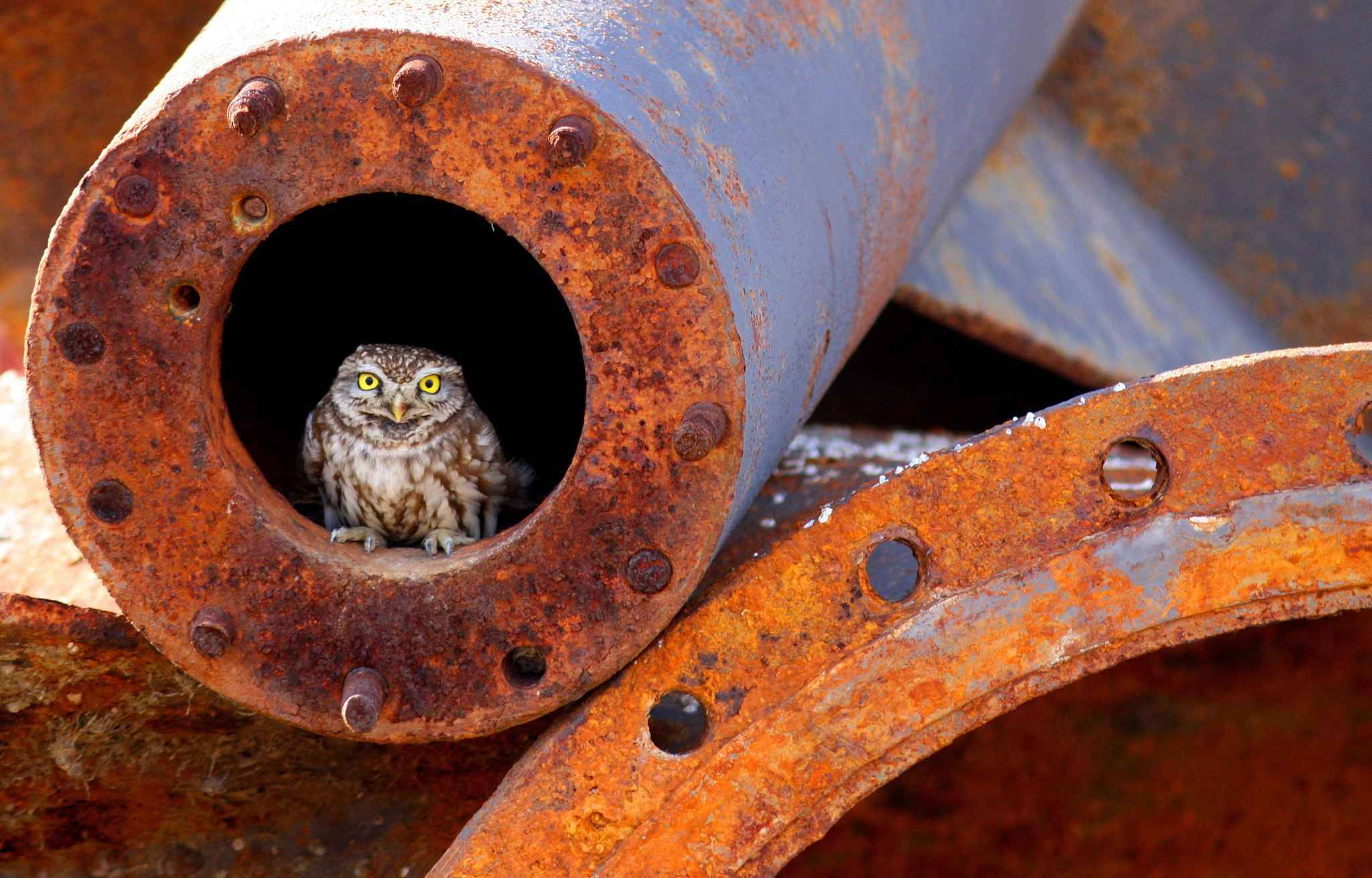 Pictured: A lonely owl appears to have adopted an abandoned pipe as her nest.  Her yellow eyes stand out from the rusty surroundings as she stares directly into the lens.  She was perched in the tube at an abandoned construction site on the outskirts of Thessaloniki City, Greece.  The pictures were captured by Konstantinos Kastaniotis, a 54-year-old photographer from Thessaloniki.  SEE OUR COPY FOR MORE DETAILS.  Please byline: Konstantinos Kastaniotis/Solent News  ' Konstantinos Kastaniotis/Solent News & Photo Agency UK +44 (0) 2380 458800//SOLENTNEWS_SOLENT01361/Credit:Konstantinos Kastaniotis//SIPA/1806051603