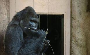 Un gorille dans un zoo (illustration).