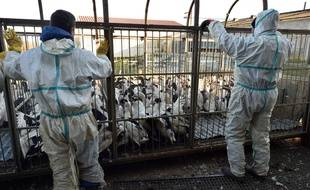 Des abattages préventifs sont réalisés pour endiguer l'épidémie de grippe aviaire qui sévit dans le Sud-Ouest.