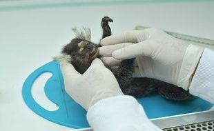Un singe mort étudié par un scientifique à Rio.