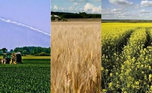 De gauche à droite: champ de maïs dans la Sarthe, champ de blé avant la moisson dans le Tarn, champ de colza en Loire-Atlantique.