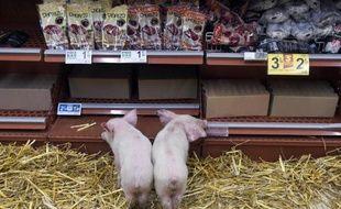 Des porcelets lâchés par des agriculteurs de la FDSEA au rayon charcuterie d'une grande surface de Rennes, le 7 février 2015, pour protester contre la baisse du prix du porc
