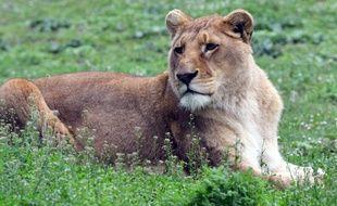 Une lionne (illustration).