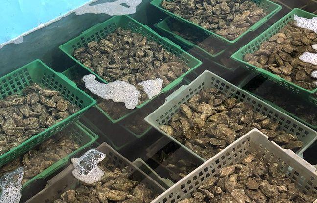 Les huîtres patientent dans des bassins avant leur expédition.
