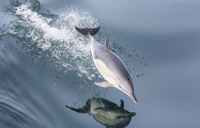 Finistère: Un nouveau dauphin dépecé découvert sur une plage