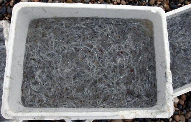 La grande alose (ici ce sont des alevins) est en voie de disparition dans la Garonne et la Dordogne.