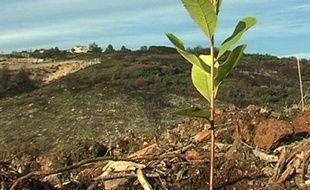 L'un des 500 arbres replantés hier dans la garrigue de la Mosson.