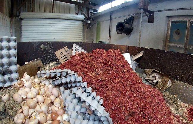 La vidéo montre des poussins broyés puis jetés dans une benne à ordures.