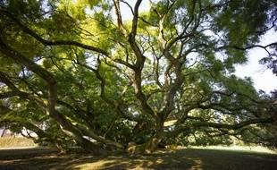 Le Sophora du château de Montry en Seine-et-Marne, l'un des 500 arbres remarquables labellisés par l'association A.R.B.R.E.S.