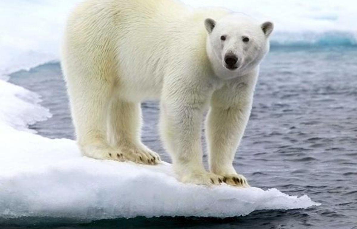 Un ours polaire, dans l'Arctique. – CATERS NEWS AGENCY/SIPA