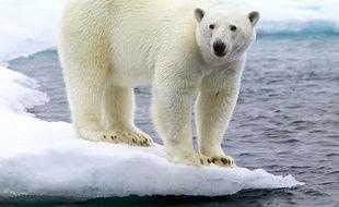 Un ours polaire, dans l'Arctique.