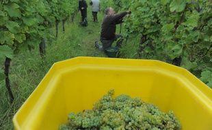 Les vins d'alsace lancent la première retransmission des vendanges en direct sur Internet... (Illustration)
