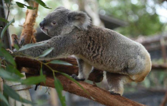 nouvel ordre mondial | Australie: Un koala retrouvé les oreilles coupées