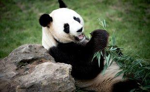 L'un des pandas du zoo de Beauval (Loir-et-Cher) mange des bambous le 11 septembre 2015.