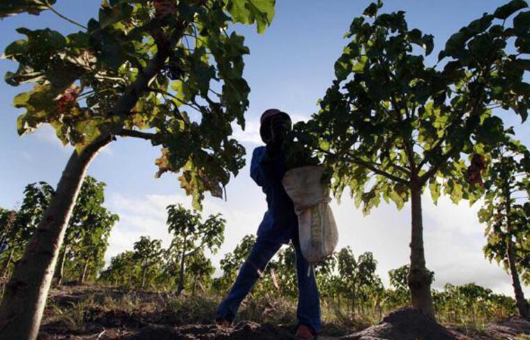 Une plantation de jatropha au Mozambique, appartenant à une société britannique, en mai 2010.