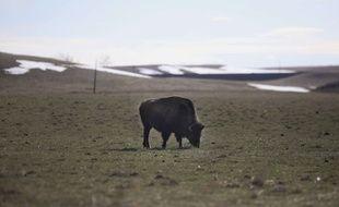 Photo d'illustration d'un bison, en avril 2019 dans le Wyoming (Etats-Unis).