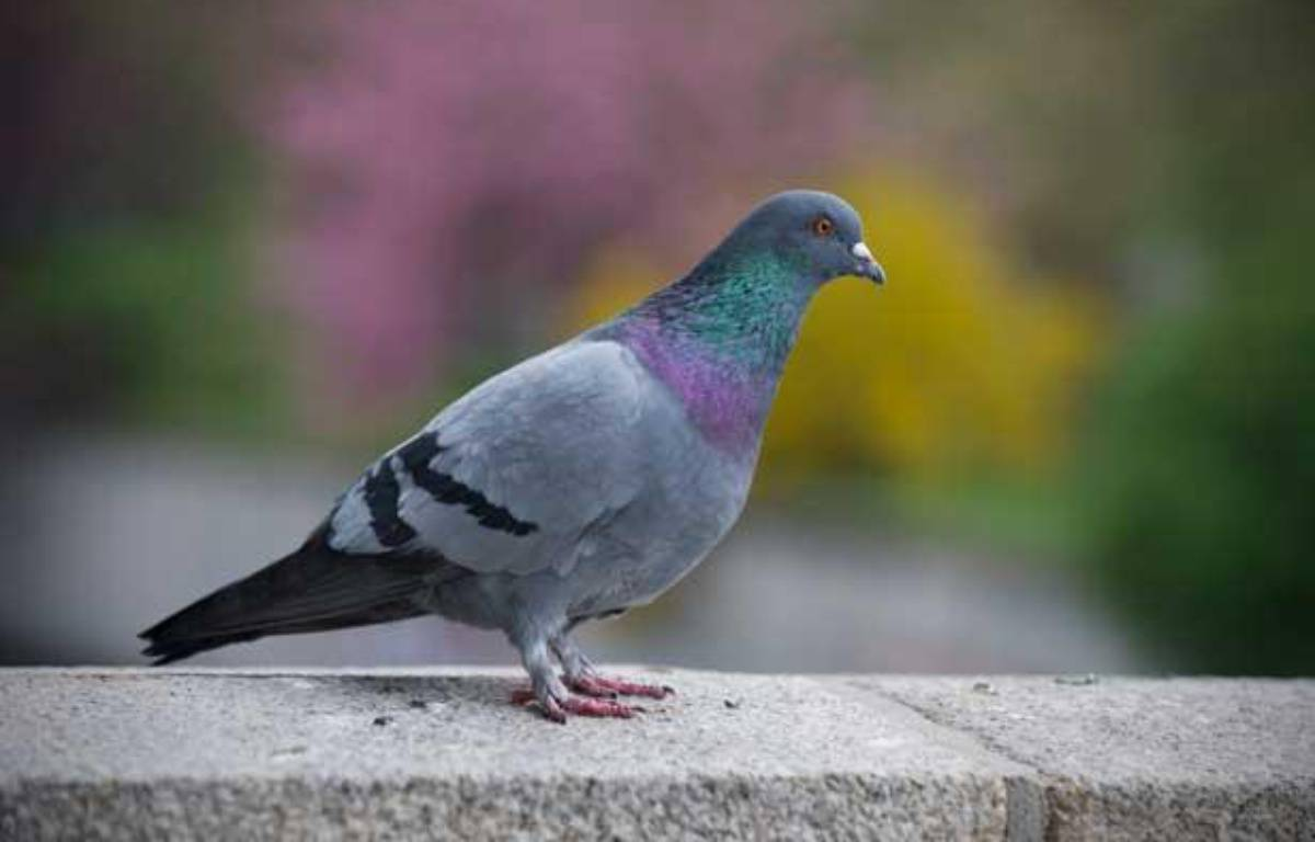 Illustration pigeon. – Jan-Philipp Strobel / DPA / AFP