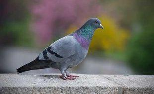 Illustration pigeon.