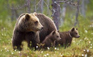Une ourse et ses deux oursons (illustration).