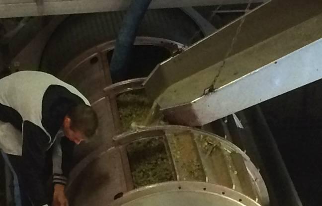 Conservées dans de grandes cuves, les raisins sont ensuite envoyés dans un pressoir.