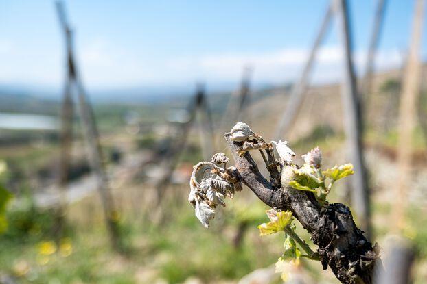 648x415 cause episode gel avril recoltes vin francais pourraient baisser moyenne 125 15 millions hectolitres selon secteur