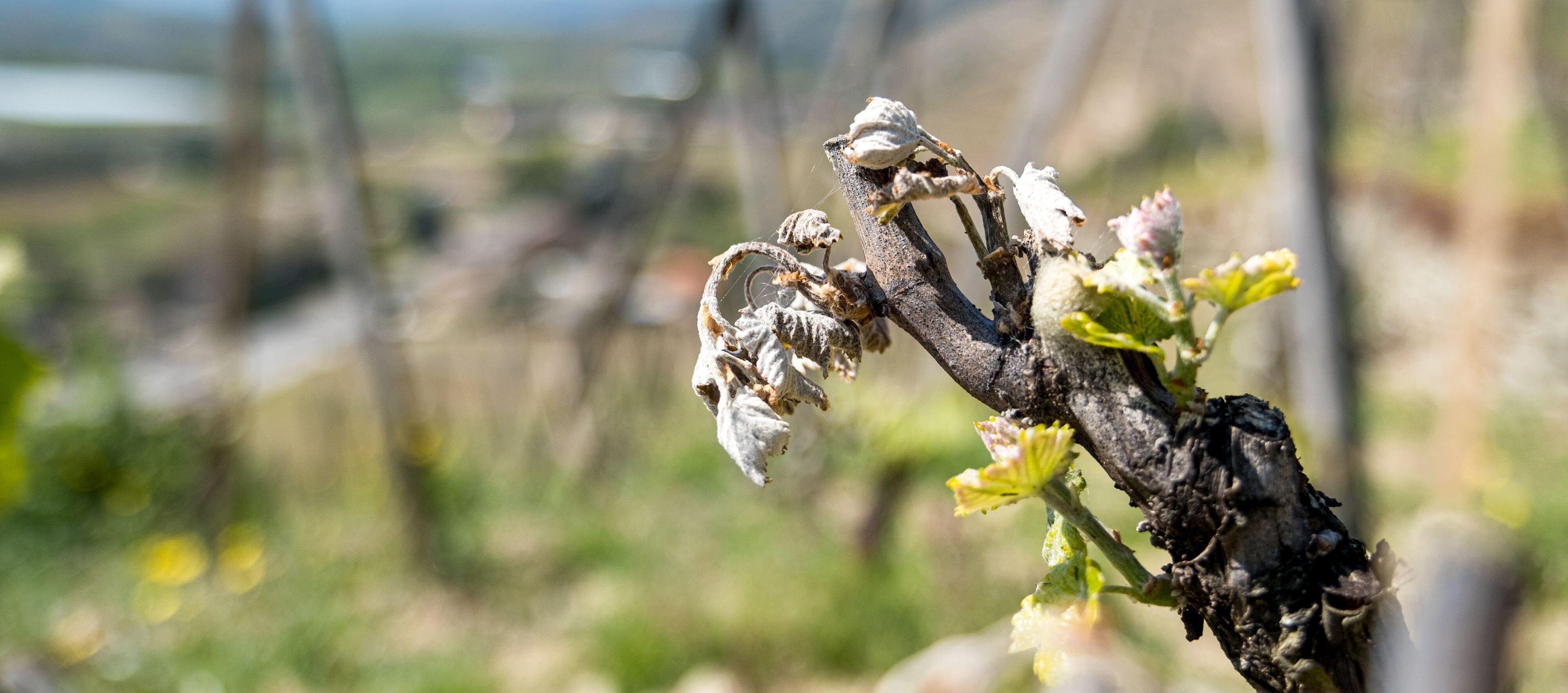 A cause de l'épisode de gel d'avril, les récoltes de vin français pourraient baisser en moyenne de 12,5 à 15 millions d'hectolitres, selon le secteur.