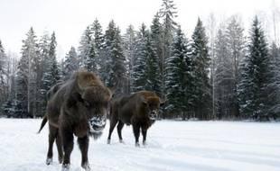 Des bizons au parc national de Bialowieza en Pologne, le 17 février 2009