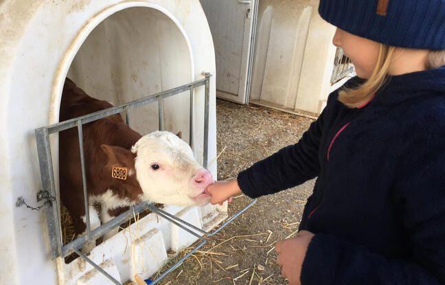 648x415 illustration d un elevage de vaches laitieres dans une ferme en savoie