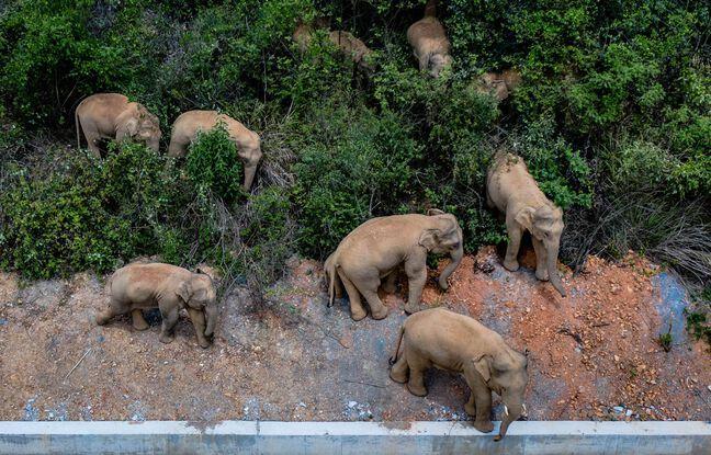 648x415 autorites chinoises equipees drones surveille troupeau elephant partis reserve traversent pays