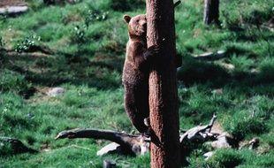 Un ours brun grimpant à un arbre. (Illustration).