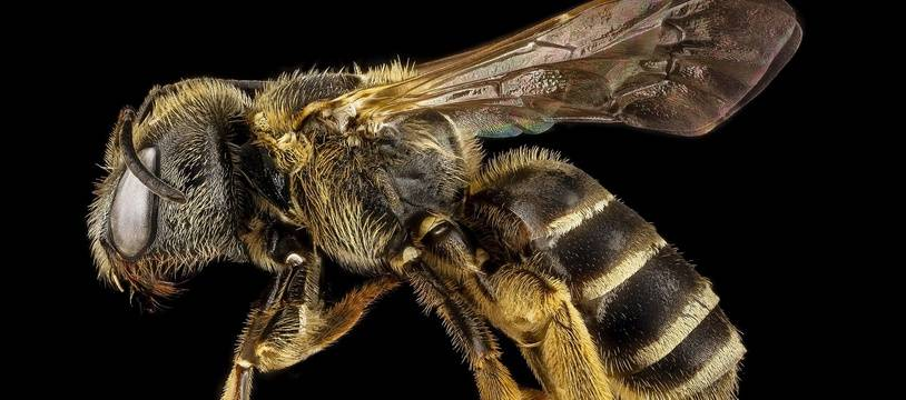 Une abeille. Illustration.