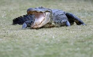 Un alligator sur un terrain de golf en Louisiane (image d'illustration).