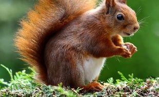 Un écureuil. Illustration.