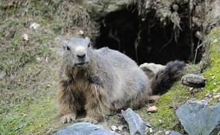 Un couple de Mongols est mort après avoir mangé de la marmotte crue (illustration).