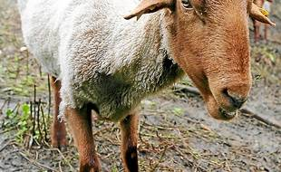 Les moutons Solognote mercredi.