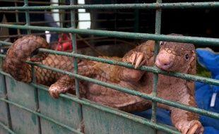 Un pangolin dans une cage le 25 octobre 2017 dans la province de Riau, en Indonésie.