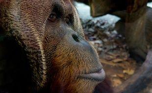 La production d'huile de palme menace dangereusement la survie des orangs-outans.