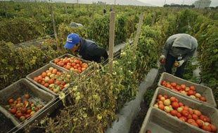 Travailleurs récoltant des tomates (illustration)
