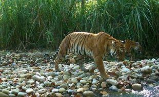 Le Népal est parvenu depuis 2010 à doubler sa population de tigres sauvages. La preuve pour WWF que la nature repart très vite du moment qu'on la laisse tranquille.