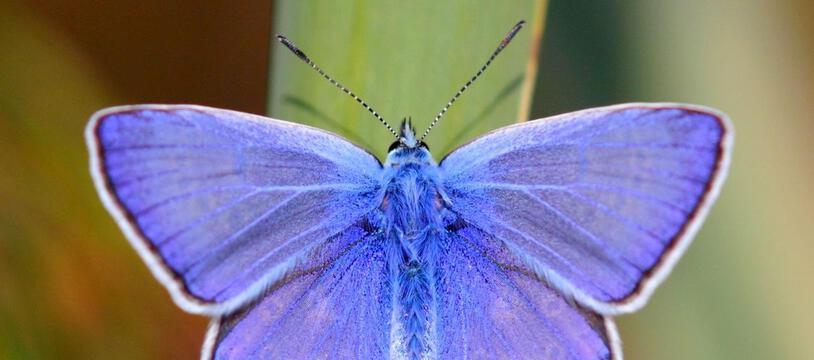 Polyommatus icarus (Lycaenidae) obtient sa belle couleur bleu-pâle par diffusion