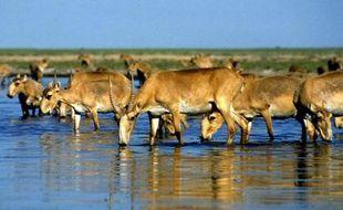 Près de 500 saïgas, des antilopes menacées d'extinction, ont été retrouvés morts dans les steppes du Kazakhstan, tuées sans doute par une épizootie de pasteurellose, ont indiqué mardi les autorités.
